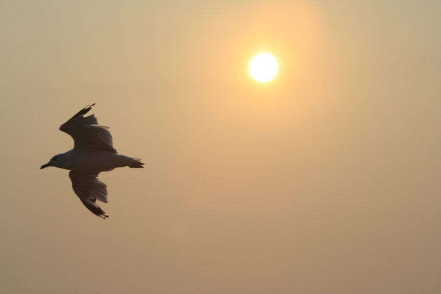 seagull-silhouette-in-sunset